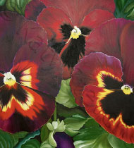 Flaming Violas | Print
